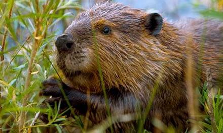 Especies exóticas invasoras generan millonarias pérdidas económicas en el país