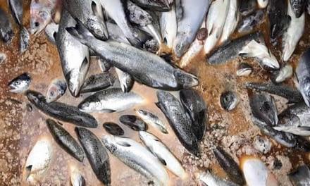 """Expertos en salmones: """"Si el Gobierno llama a la tranquilidad, hay que alarmarse"""""""