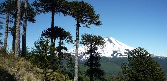Científicos de la Araucanía defienden ecosistema de los Mapuche Pehuenche